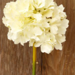 Carnations/Hydrangeas - Ask about price