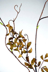 Curly Willow Branch - Ask about price