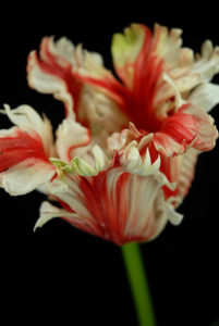 Tulips and Lilies - Ask about price
